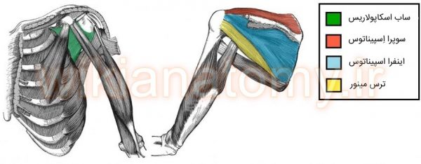 عضلات روتاتور کاف که با تون خود پایداری بیشتری به مفصل شانه می دهند