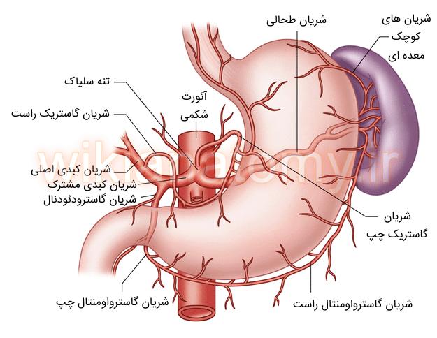 شریان های معده