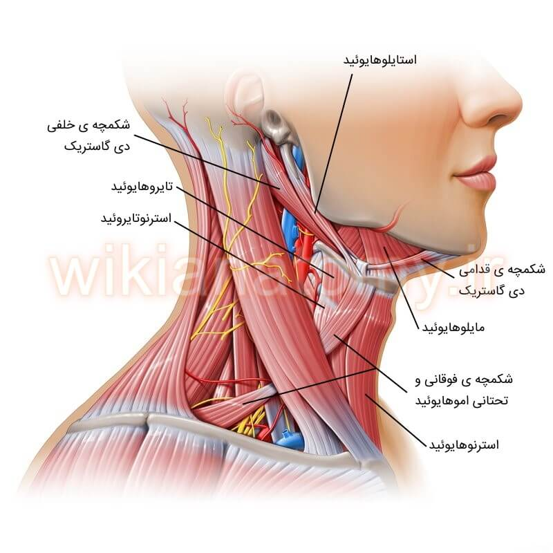 عضله های مثلث قدامی گردن