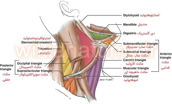 مثلث های زیر مجموعه ی مثلث قدامی و خلفی گردن