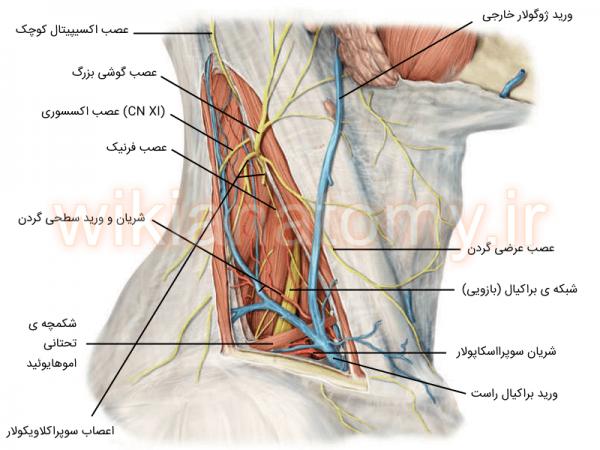 اعصاب و عروق مثلث خلفی گردن
