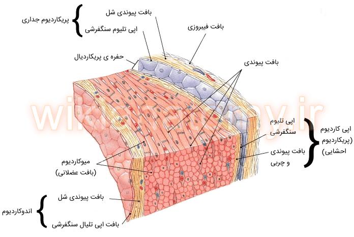 لایه های دیواره ی قلب