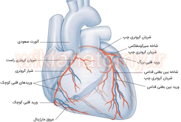 شریان ها و ورید های کرونری سطح قدامی قلب