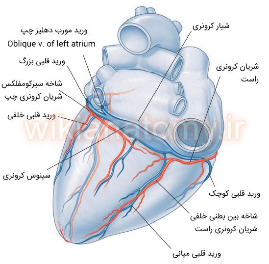 شریان و ورید های کرونری سطح خلفی قلب