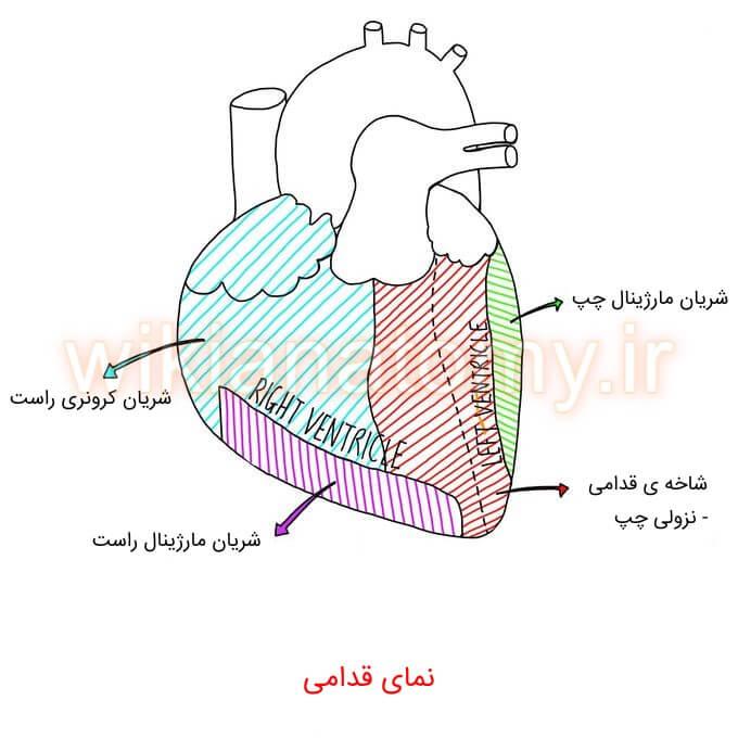 ناحیه های خون رسانی قلب به تفکیک شریان نمای قدامی